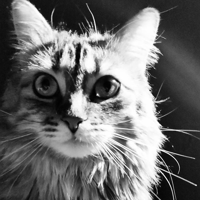A black and white photo of a torbie cat, Hermione.