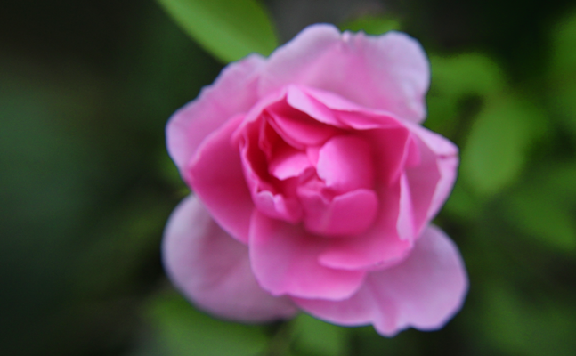 Photo of a pink rose taken with a macro lens