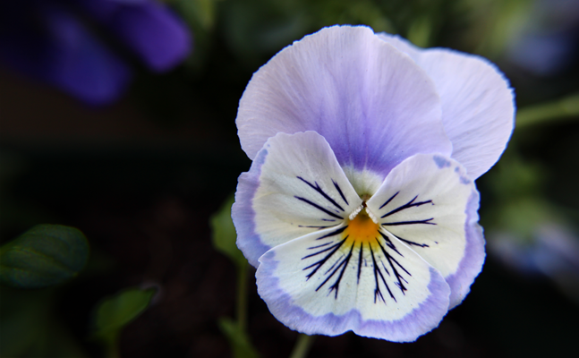 A delicate purple and white pansy flower, taken with my new macro lens
